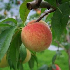 Temps de Peach