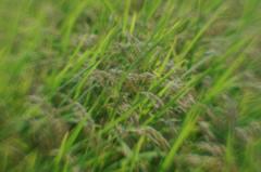 収穫間近の水田 (lensbaby, plastic-optic)