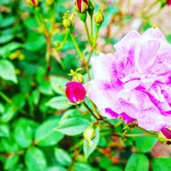 これから咲くバラ