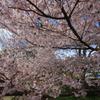 霞城公園の桜2
