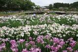 多賀城あやめ園3