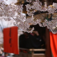 SONY DSLR-A200で撮影した風景(桜とからくり奉納)の写真(画像)