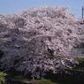 SONY DSLR-A200で撮影した風景(朝の桜)の写真(画像)