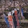 桜とこいのぼり2