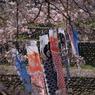 SONY DSLR-A200で撮影した風景(桜とこいのぼり2)の写真(画像)