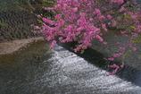 川辺のピンク