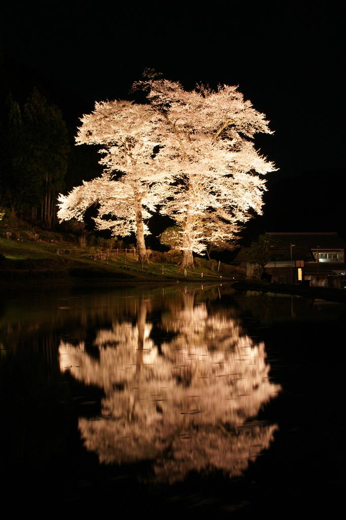 下呂 苗代桜