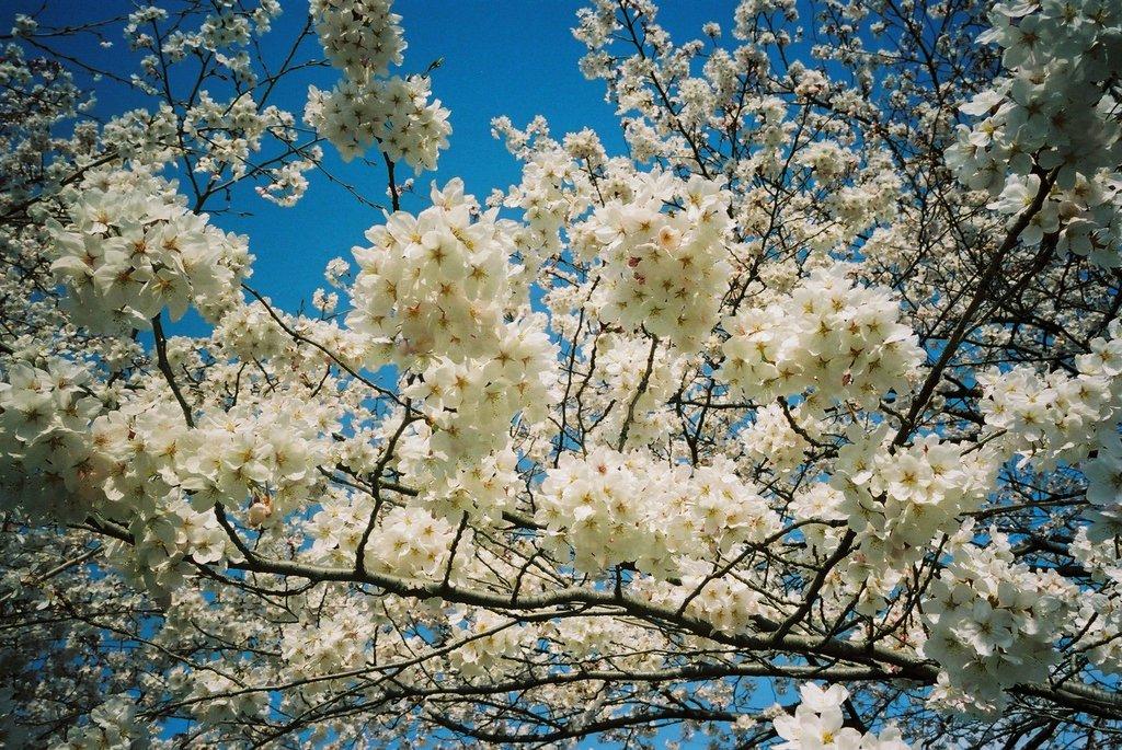 Sakura 2008