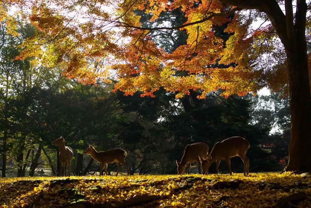 秋の奈良公園