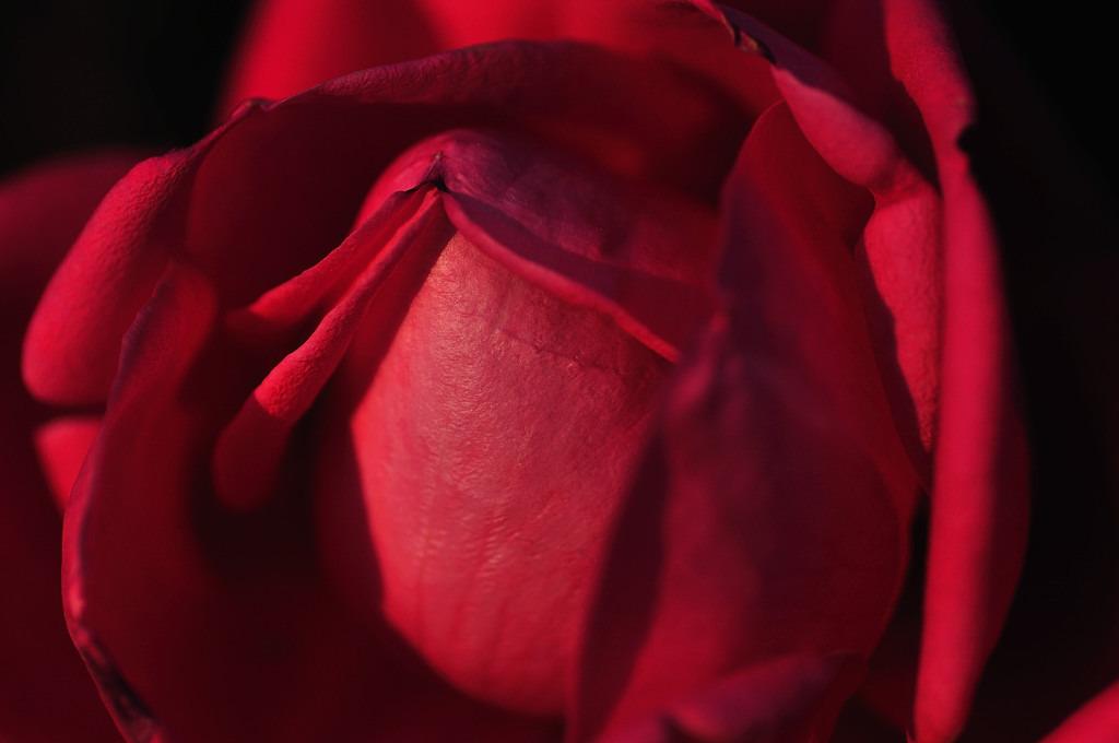 硬そうなバラ