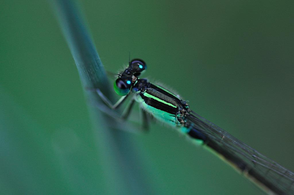 緑の糸トンボ