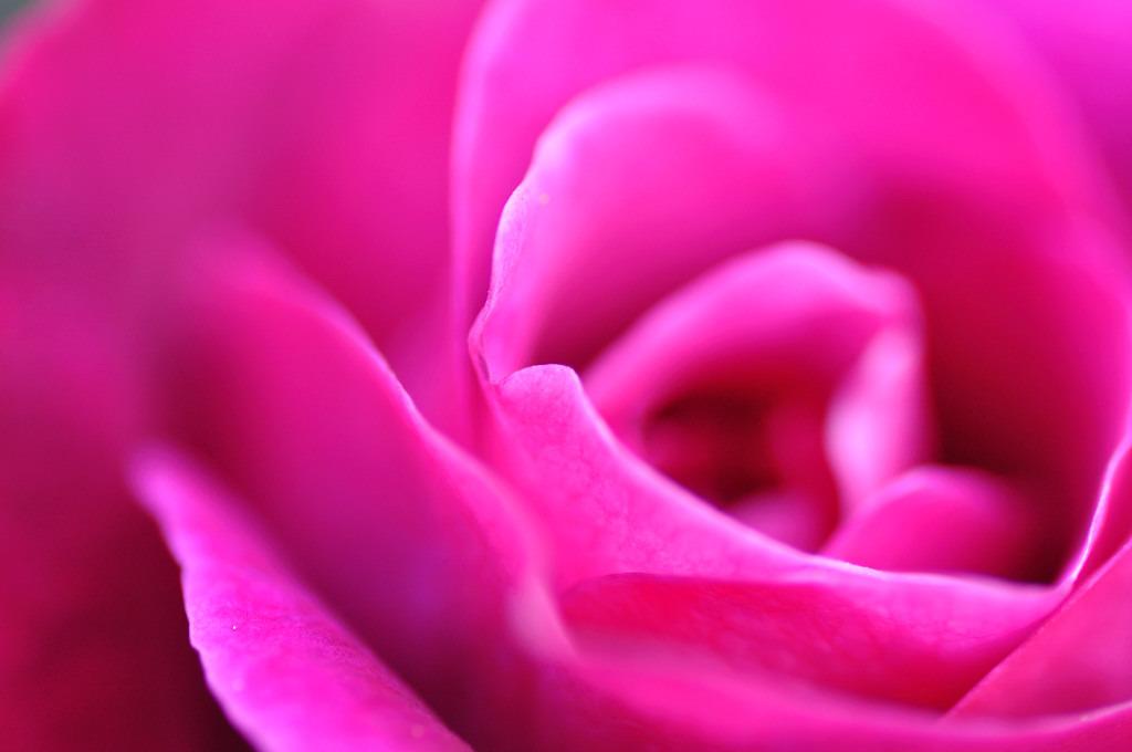 柔らかそうなバラ