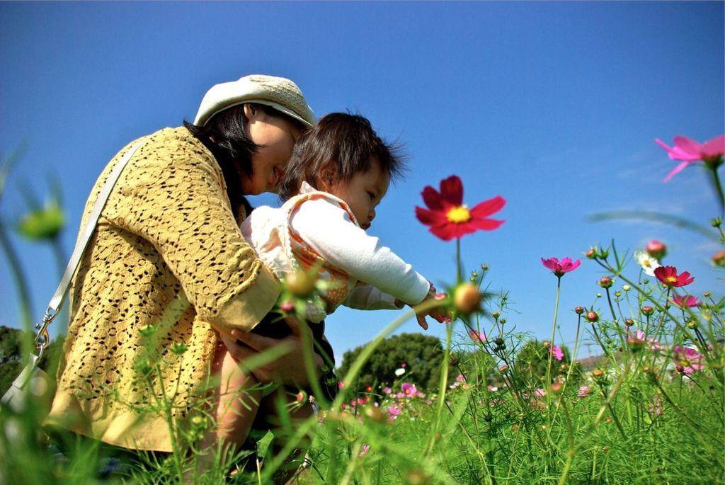 sakuraとコスモス