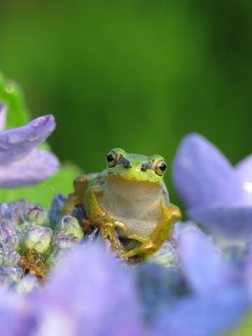 王様と私(The King and I) 雨蛙
