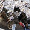 上野の桜の木の上に