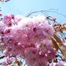 NIKON COOLPIX P5000で撮影した(八重桜)の写真(画像)