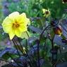 PENTAX PENTAX K-mで撮影した植物(黄色い花)の写真(画像)