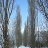冬のポプラ並木