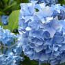 NIKON COOLPIX P5000で撮影した植物(札幌の紫陽花)の写真(画像)
