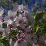 PENTAX PENTAX K-mで撮影した植物(桜)の写真(画像)