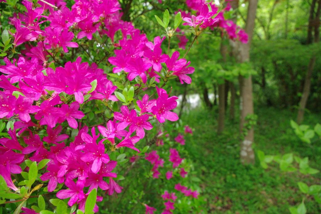 金鱗湖の花