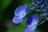 大人な紫陽花