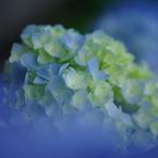 PENTAX PENTAX K-mで撮影した植物(紫陽花)の写真(画像)
