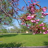 PENTAX PENTAX K-mで撮影した風景(蕾・八重桜)の写真(画像)
