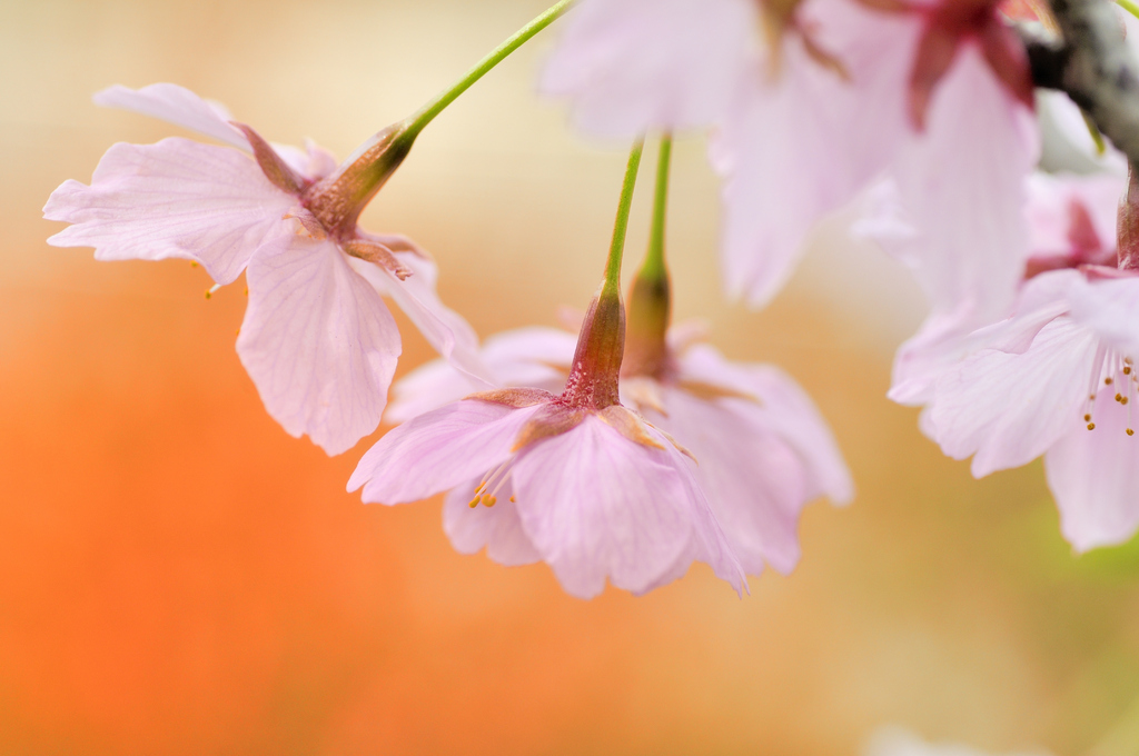 orenge 河津桜