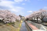 桜-tiltshift