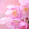春一番 河津桜
