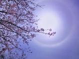 桜とハロ(日暈。まあるい虹のように見えます)