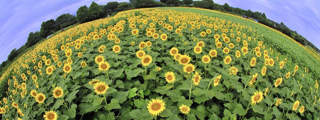 まあるい向日葵の園