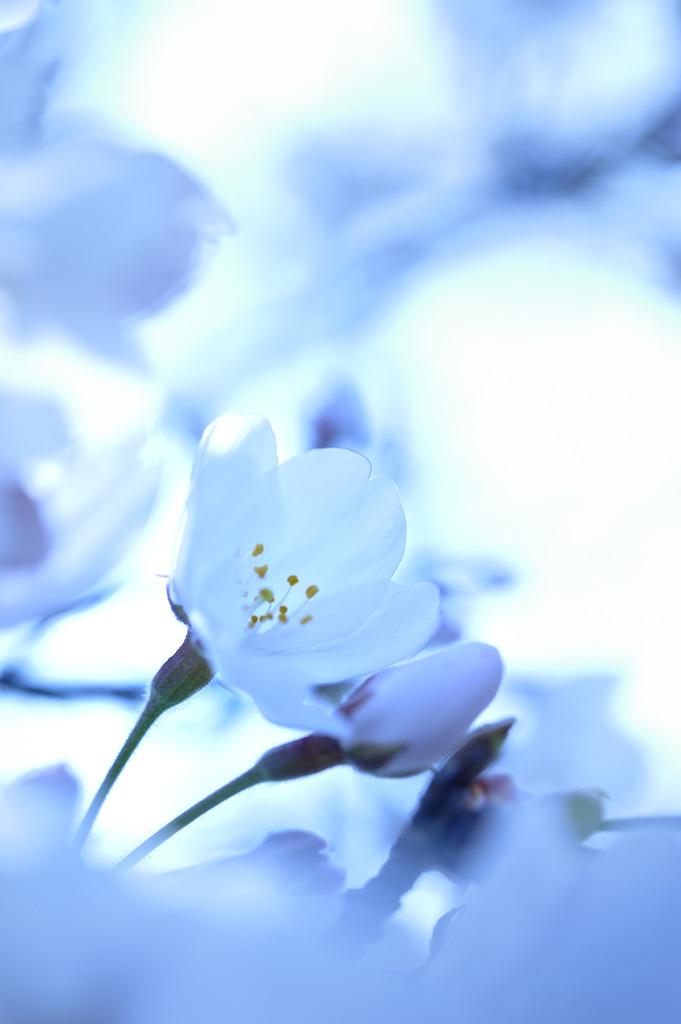 yasasii-sakura
