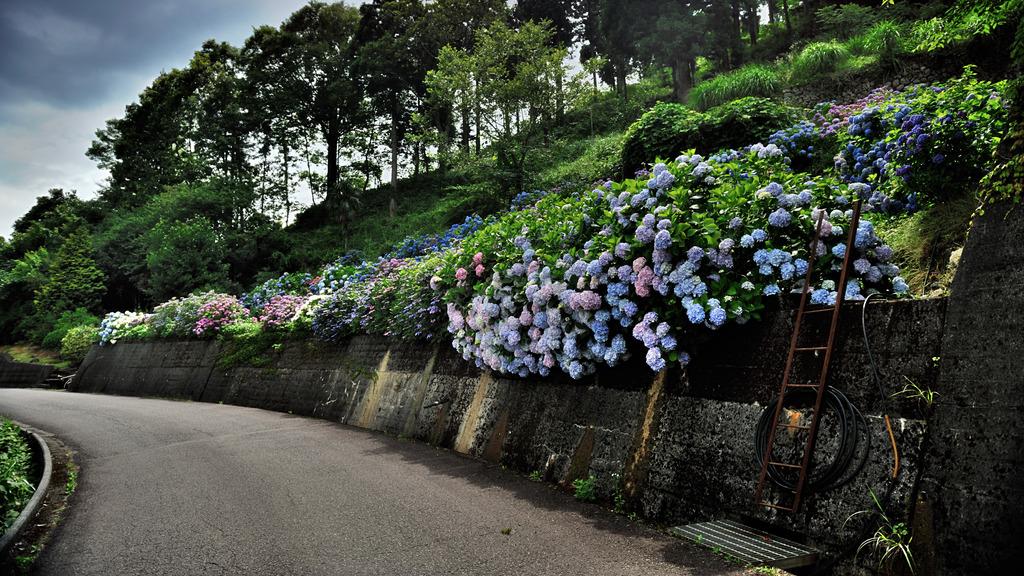 紫陽花ロード
