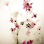 NIKON NIKON D700で撮影した植物(秋桜花火)の写真(画像)