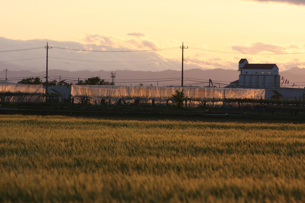 夕暮れの麦畑(1)