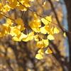 神宮外苑いちょう並木(3)