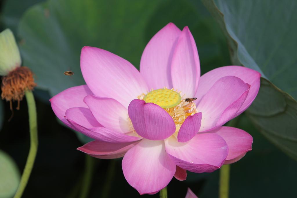 古代蓮と蜂