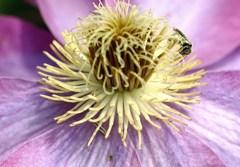 クレマチスと花粉を付けた蜂