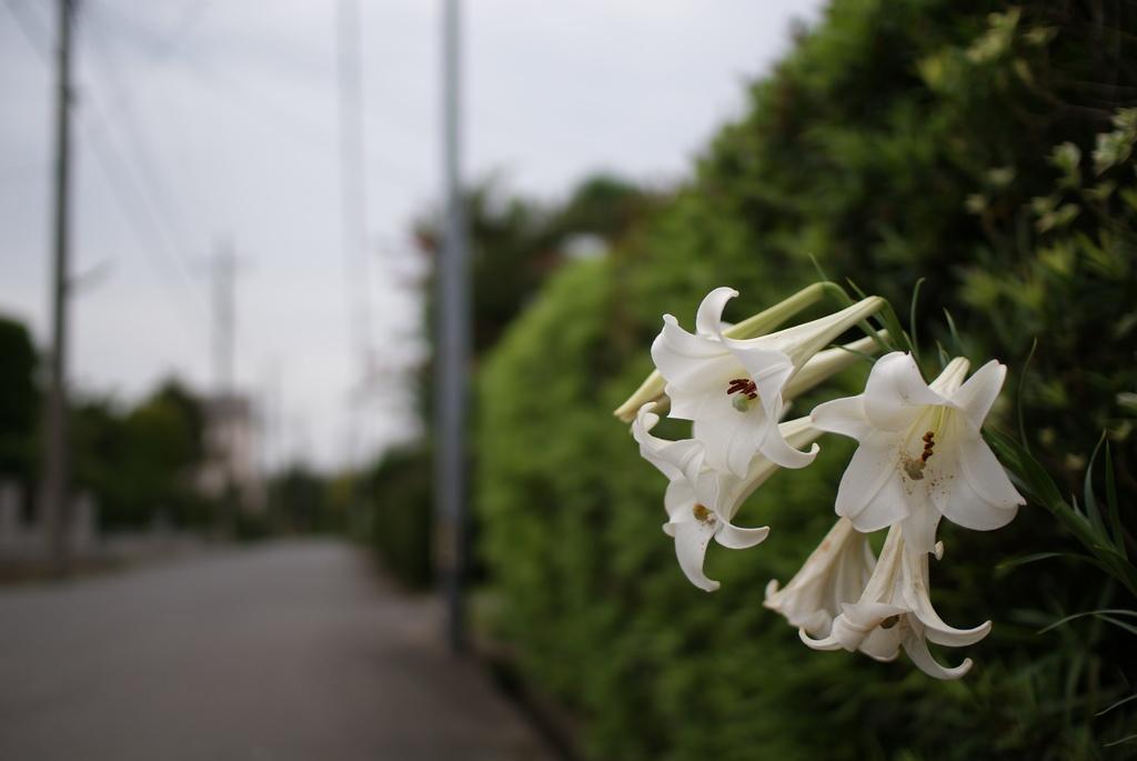 街頭に咲くゆり