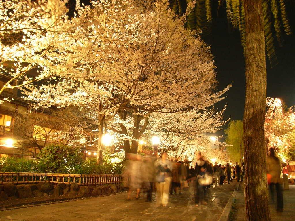 kyouto sakura 2008 1