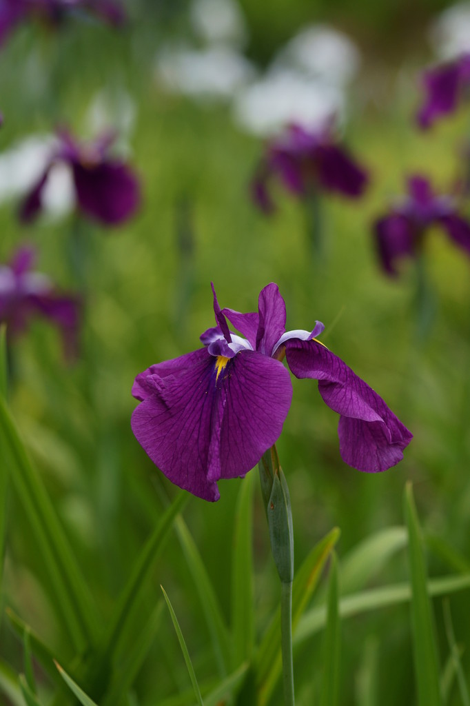 ショウブ(紫)