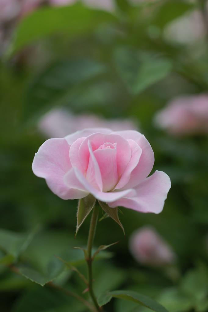 バラ一輪(ピンク)