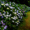 Hydrangeas in full bloom