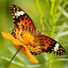 Beautiful butterfly (1)