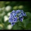 紫陽花(Natural)