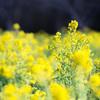 rapeseed blossom(菜の花)