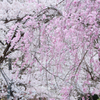 White and pink(Sakura)