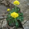 CASIO EX-Z1000で撮影した植物(キンレイカ)の写真(画像)